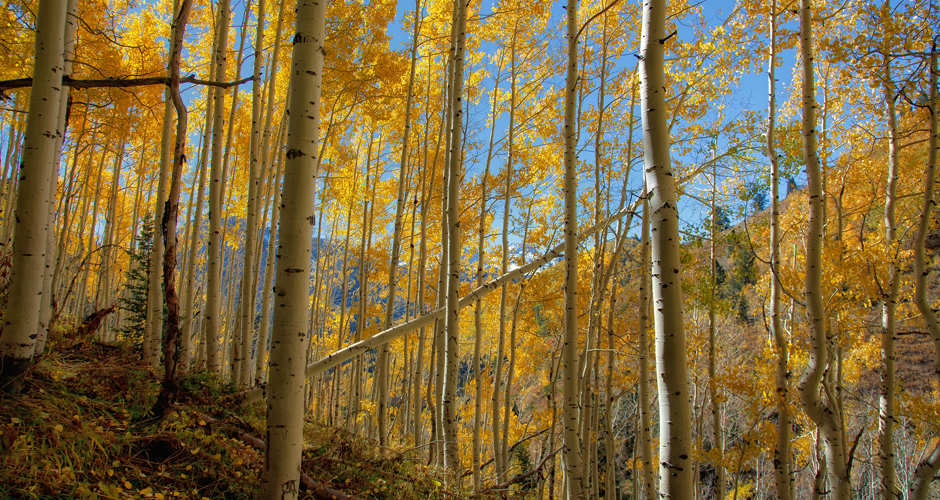 Forest of quaking aspen trees in Utah, along Alpine Loop, Wasatch Mountain Range | family activities Utah.